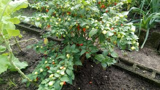 Super Adubo Para Segurar as Flores e Frutos da Sua Horta e Pomar