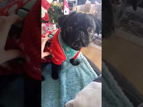 Woman can't fit harness on her fat pug