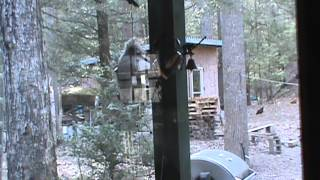 Funny! Squirrel Gets Caught Getting In To Our Bird Feeder! Ugh!