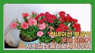카네이션 분갈이, 꽃대 자르기, 사계절 꽃 올라오게 키…