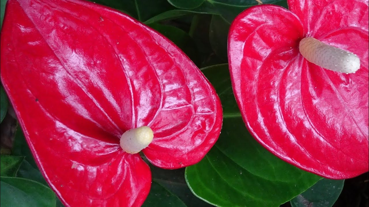 Anthurium Plant Care In Malayalam Youtube