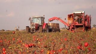 :::: Zbieranie Pomidora x3 Massey Ferguson ::::