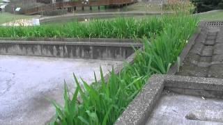 桃園陽明運動公園內的植物-射干