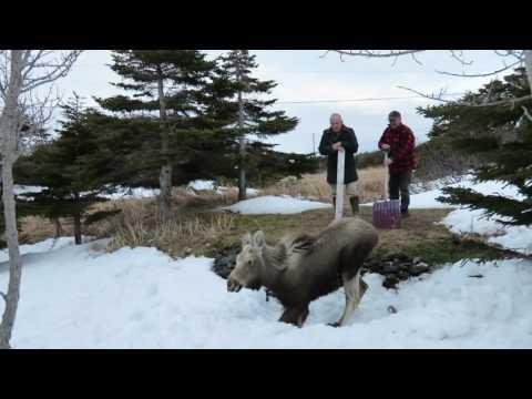 Ship Cove Moose Rescue 1