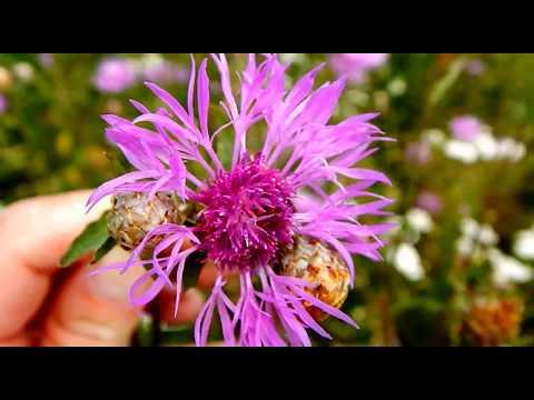 Василек луговой Centaurea jacea Волошка лучна