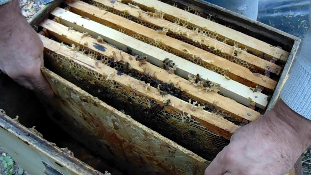 tratamentul albinelor videoclipuri varicose