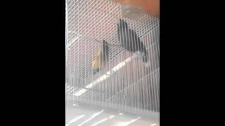 Merdunya Suara Burung Jalak Kebo
