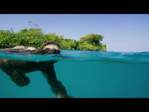 Single Swimming Sloth Seeks Same - Planet Earth II - Series Premiere In Early 2017 On BBC America