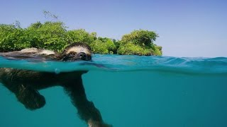 Single Swimming Sloth Looking for Love - Planet Earth II - BBC America