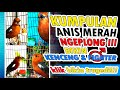 Kumpulan Anis Merah Ngeplong Pembangit Emosi Dan Birahi Sekaligus Pemancing Burung Gacor Ngelawan  Mp3 - Mp4 Download