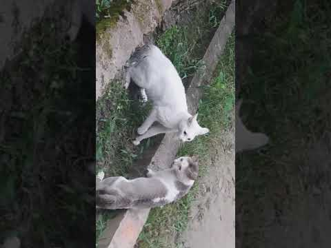 Real Cats fight