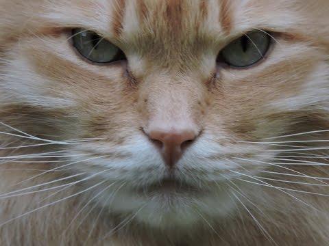 Loud roar large Siberian Cat