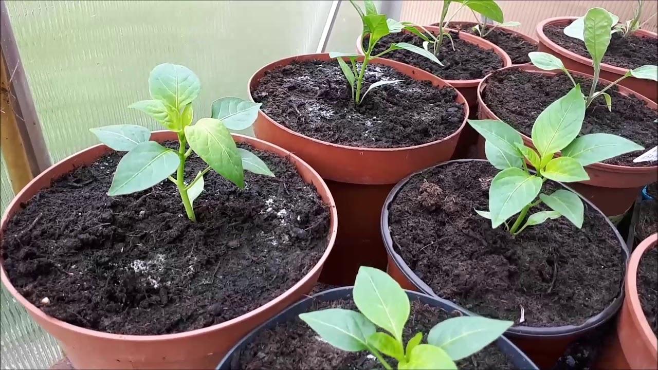 Plantation de tomates , de courgettes , protection des ...