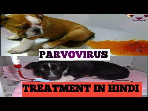 Parvovirus Full Treatment In Hindi // Dog Ultimate Care