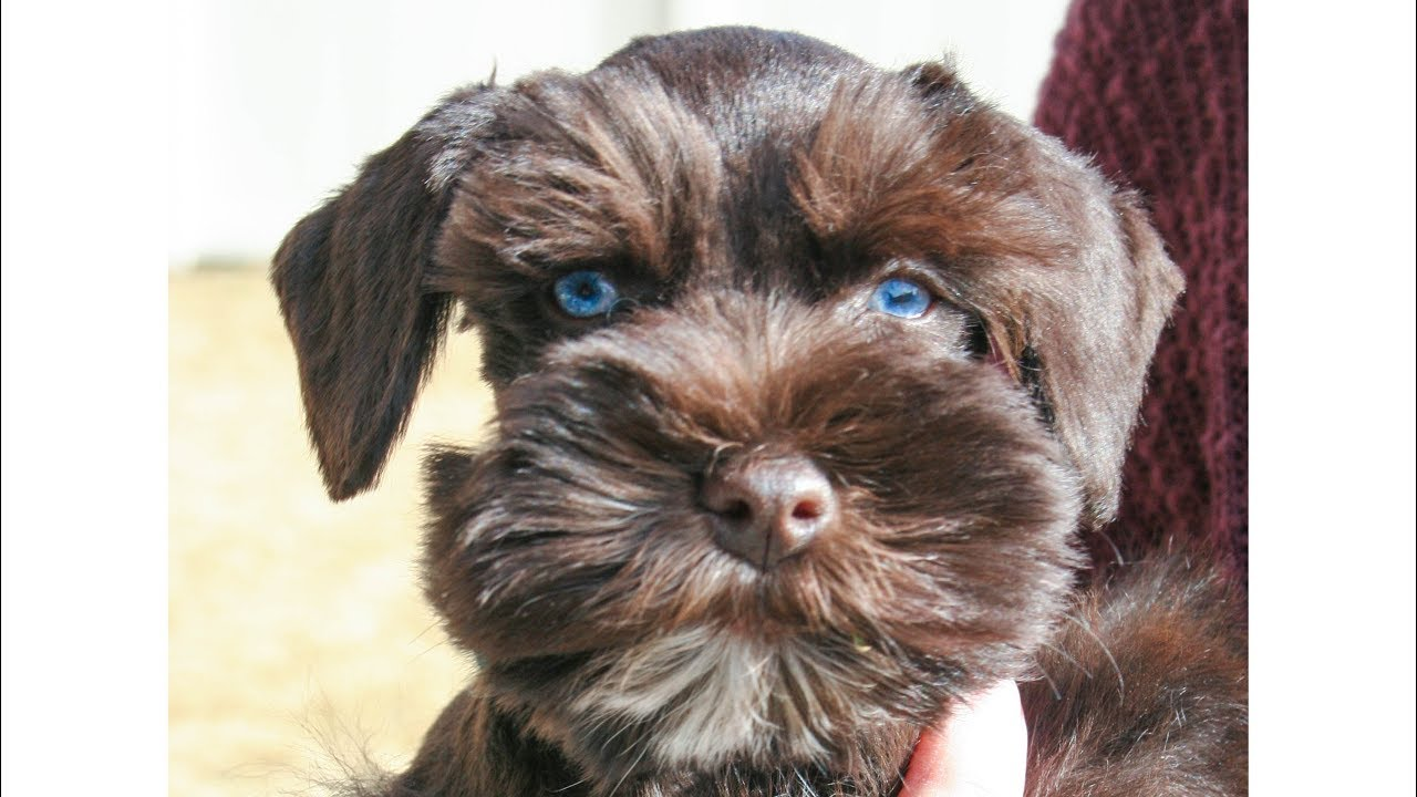 Blue Eyed Miniature Schnauzer Puppy For Sale Gus In Training Youtube