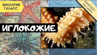 Тип Иглокожие. Биология 7 класс. Классы иглокожих, строение, характеристика. Морские звезды, ежи...