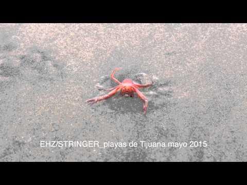 langostas en playas de tijuana