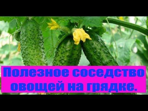 Полезное соседство овощей на грядке. Сад и огород выпуск 210