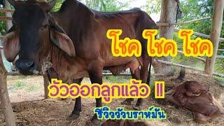 วันนี้โชคๆ  #วัวออกลูกแล้ว !! | รีวิววัวบรามันแดง by ชีลองฟาร์ม