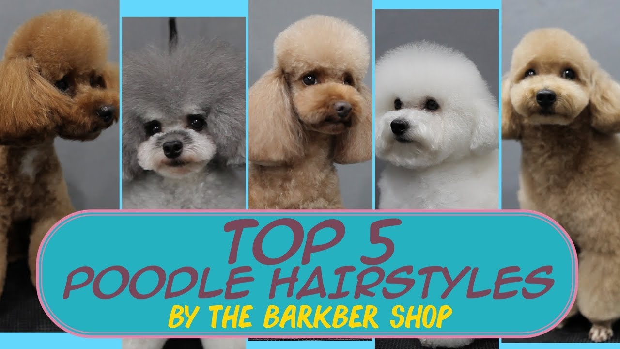 Top 5 Poodle Hairstyles The Barkber Shop