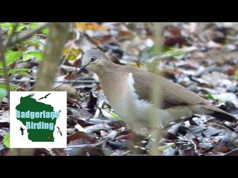 ULTRA RARE Grenada Dove - Badgerland Birding Episode 10