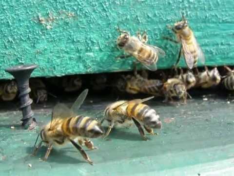 Отравление пчел ядом. Макросъемка пчел.