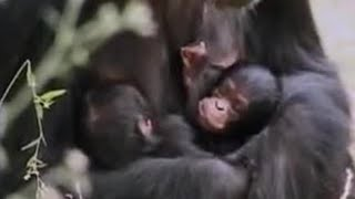 Download Video Wild alpha male ape meets his baby twin chimpanzees in the African jungle - BBC wildlife MP3 3GP MP4