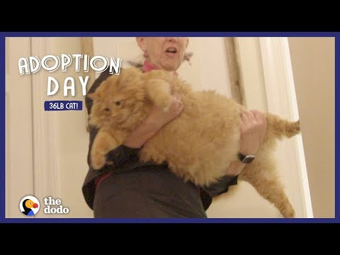 36-Pound Cat Finds A Mom Who Just Gets Him | The Dodo Adoption Day