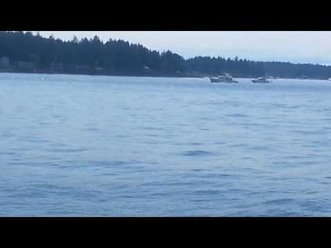 Humpback Whale and Calf near San Juan Island (11 Aug 2013)