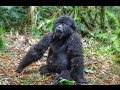 Drunk Baby Mountain Gorilla. Virunga National Park, Rwanda