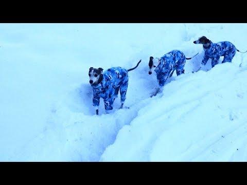 Italian Greyhounds go to Mountains for Christmas Tree