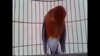 Teler !! kicau Burung Anis Merah Bikin Pingin Beli