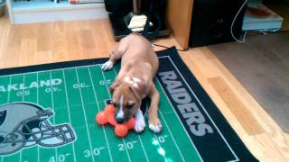 Pitbull/boxer Mix Puppy Playing