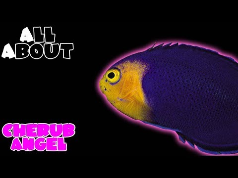 All About The Cherub Angelfish Or Pygmy Angelfish