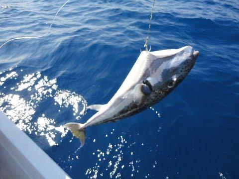 balon balığı yakalama ile ilgili görsel sonucu