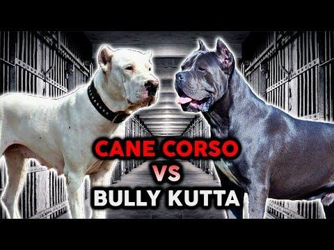 CANE CORSO vs BULLY KUTTA! The Best Guard Dog Breed!