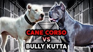 CANE CORSO vs BULLY KUTTA! The Best Guard Dog Breed!
