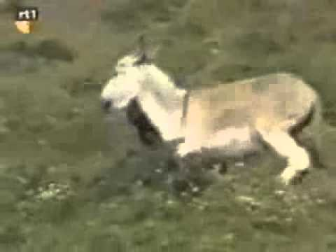 Man Assulted by Donkey thumbnail