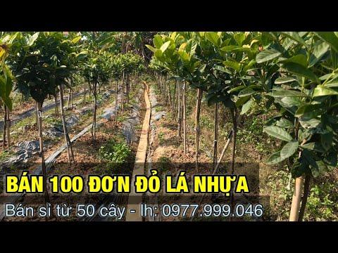 Bán sỉ vườn 100 cây đơn đỏ lá nhựa ( đã bán )- Trung kiên garden, 0977999046.