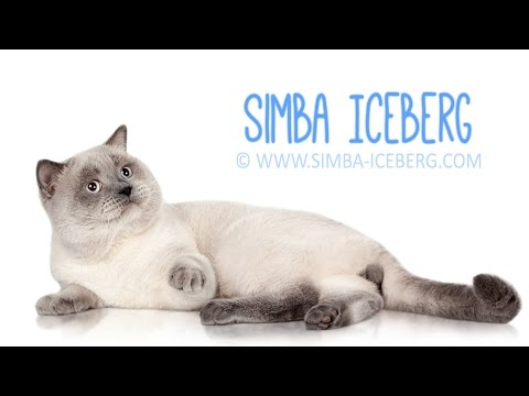 Скоттиш-страйт блю поинт Simba Iceberg | Кот на международной выставке кошек (WCF)