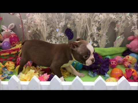 Male Boston Terrier Puppy