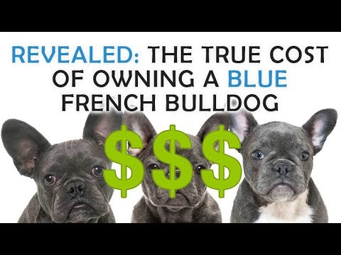 how much does a french bulldog cost how much does it cost to own a blue french bulldog youtube 5135