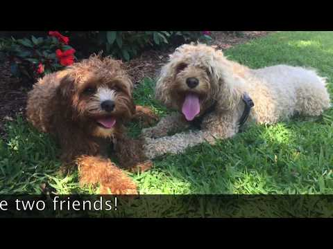 Fraser the cavoodle cavapoo and his friend Harry