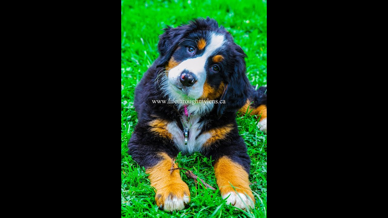 My Pet Adventures: Bernese Mountain dog event - My Pet Adventures: Bernese Mountain dog event