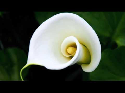 calla lily flower gallery  random pics, Beautiful flower