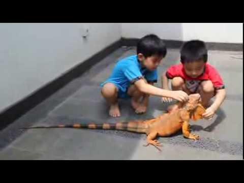 My Big Red Iguana With Kids