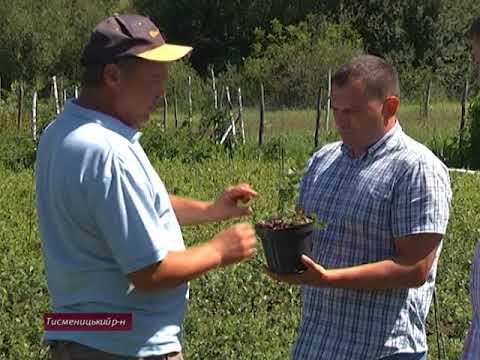 У селах Прикарпаття планують вирощувати лохину
