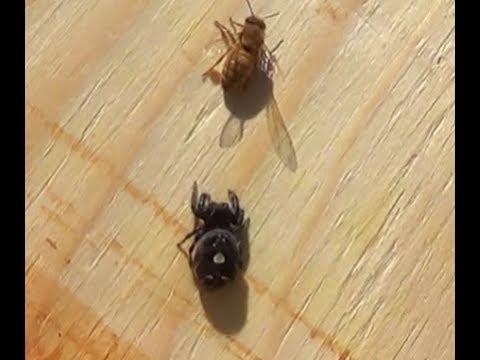 Beekeeping Big Nasty Spider Kills one of My Girls