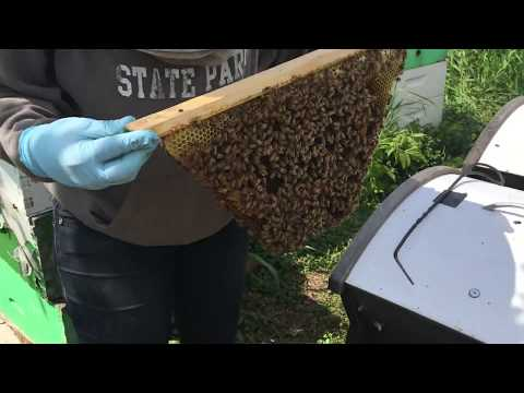 Using The Beepods Top Bar Hive Tool To Break Comb Attachments From Hive Wall