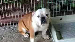 新入りのブルドッグ4頭です。 http://wanboh.net/french-bulldog/